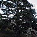 How Big Do Cedar Trees Get in Diameter?