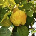 How Do I Know When Quince Is Ripe?