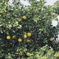 Do Citrus Trees Have Good Wood?