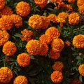 Poisonous Flowers: Marigolds