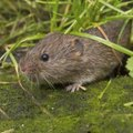 How to Identify Shrews, Moles & Voles