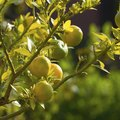 How to Prune Lemon Trees