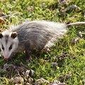 How to Repel a Possum
