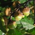How to Identify Red Oak, Black Oak, & Burr Oak Trees