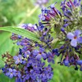 Can a Butterfly Bush Thrive in a Container Garden?