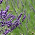 If Your Lavender Plant Is Partially Dead, Do You Cut Off the Dead Part?