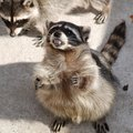 How to Eliminate Raccoons & Skunks From a Yard