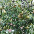 How to Cross-pollinate an Ayers Pear Tree