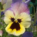 Are Pansies Toxic to Dogs?