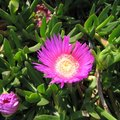 Hearts and Flowers Ice Plant Care