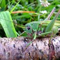 How Are Grasshoppers Harmful?