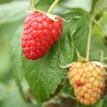 How to Plant Raspberry Plants From Seeds