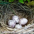 Identification of Bird Eggs by Color