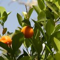 How to Care for a Mandarin Orange Tree