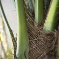 How to Repair a Broken House Palm Tree