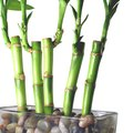 Spiritual Meanings of Lucky Bamboo