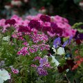 How to Prune Mexican Petunias