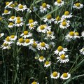 How to Identify Camomile