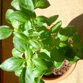 Basil Plant Care And Maintenance