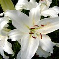 How to Care for Oriental Lilies Indoors