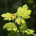 What Is a Sycamore Tree?