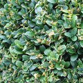 The Best Hedges for Sound Proofing