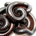 How to Control Millipedes in Potted Plants