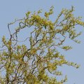 How to Care for a Corkscrew Willow Tree