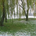 Willow Tree Reproduction Facts