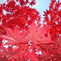 How to Care For a Royal Red Maple Tree