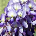 The Meaning of The Wisteria Flower