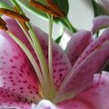 The Meaning of Oriental Lilies