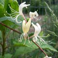 How to Grow Honeysuckle in Pots