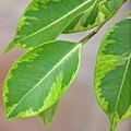 Cause of Yellowing Leaves in Ficus Trees