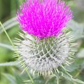 Difference Between Milk Thistle & Burdock