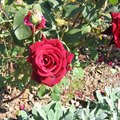 How to Grow Knockout Roses From Clippings