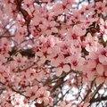 Which Flowering Trees Bloom the Longest?