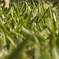 How to Make St. Augustine Grass Greener and Fuller
