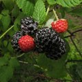What States Do Blackberries Grow In?