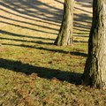 How to Grow Cedar Trees From Seed