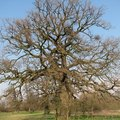 Characteristics of Oak Trees