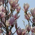 How to Care for a Saucer Magnolia Tree