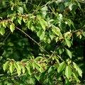 Cherry Tree Leaf Identification