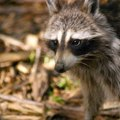 How to Build an Electric Fence for Racoons