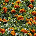 The Lowest Temperature of Marigold Plants