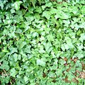 What Is an Easy Way to Kill Outdoor Ivy?