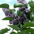 How Fast Does a Lilac Bush Grow?