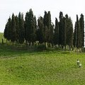 When to Plant Italian Cypress