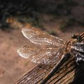 What Flowers Attract Dragonflies?