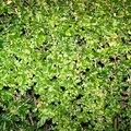 How to Kill Privet Hedges